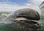 balena con fanoni