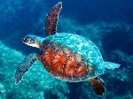 Tartaruga-marina-320x240