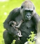 13576958_8183_mamma_gorilla_figlio_H234852_L1
