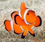 consiglio-pesce-pagliaccio