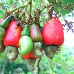 5-unids-anacardo-semilla-Anacardium-Occidentale-planta-rboles-Rare-Tropical-anacardo-de-Apple-plantas-milagro-fruta.jpg_640x640