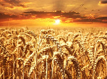 wheat-field-wheat-cereals-grain-39015