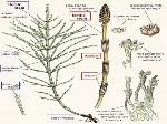 equisetophyta-6-638