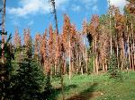 dead-lodgeple-pines