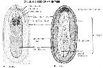 Ch22 ovule