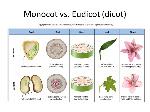 monocot vs eudicot