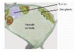 vacuolo