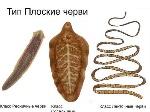 Chervi_v_cheloveke_kakie_ploskie_glisti_zhivut_v_organizme_cheloveka_3