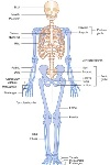 human-anatomy-and-physiology-skeletal-system-musculoskeletal-system-anatomy-and-physiology-review-diseases-of-template
