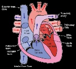 blood-flow-through-the-heart-circulatory-system-opencurriculum-free