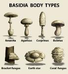 basidia_fruiting_types