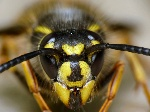 400x300_Common_Wasp__Vespul