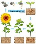 ciclo-de-vida-de-la-planta-de-girasol_1308-4144