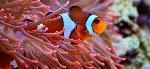 relacion-pez-payaso-anemona