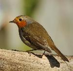 ocells-MC--FN-174