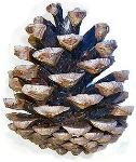 240px-Pinus_nigra_cone