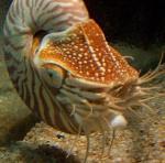 250px-Nautilus_tentacles