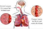 science- oxygen going into blood