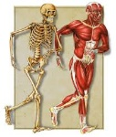 science-muscles and bones