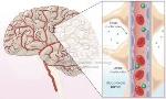 science- blood brain barrier
