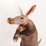 aardvark_thumb.ngsversion.1474903830105.adapt.1900.1