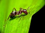 Ant_on_leaf