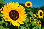 sunflower-1627193_1920-copia