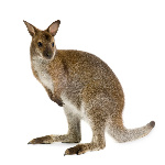 wallaby-2780578