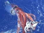 Mesonychoteuthis hamiltoni