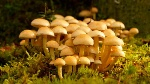 -que-hongos-son-comestibles-3-655x368
