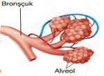 Bronşçuk-ve-Alveoller