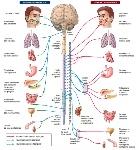 medicina-online-dott-emilio-alessio-loiacono-medico-chirurgo-roma-sistema-nervoso-autonomo-simpatico-parasimpatico-riabilitazione-nutrizionista-infrarossi-accompagno-commissioni-cavitazi1