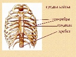 грудна клітка