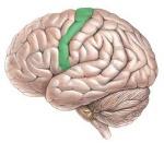 córtex-motor-fatia-do-cérebro