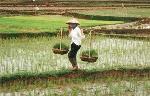 rice-field-in-mekong-delta