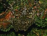 775px-Litoria_nannotis_camouflage