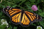 320px-Monarch_In_May