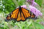 Male_monarch_butterfly