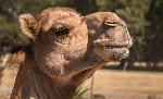 Camel-portrait-web-620