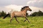cheval-henson-en-liberte,raceDeChevaux,370,image4,fr1392320953,H400