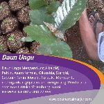 kapsul daun ungu