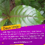 obat ambeien daun ungu