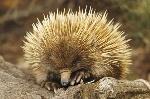Los-monotremas-mamiferos-que-parecen-reptiles