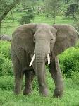 200px-Elephant_near_ndutu