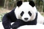los-osos-panda-podrian-tener-un-origen-europeo_full_landscape