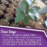 ekstrak daun ungu
