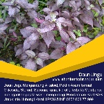 obat ambeien tradisional daun ungu