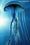 meduzaaa