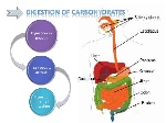 digestion-and-absorption-of-carbohydrates-6-728