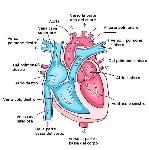 cuore cannata